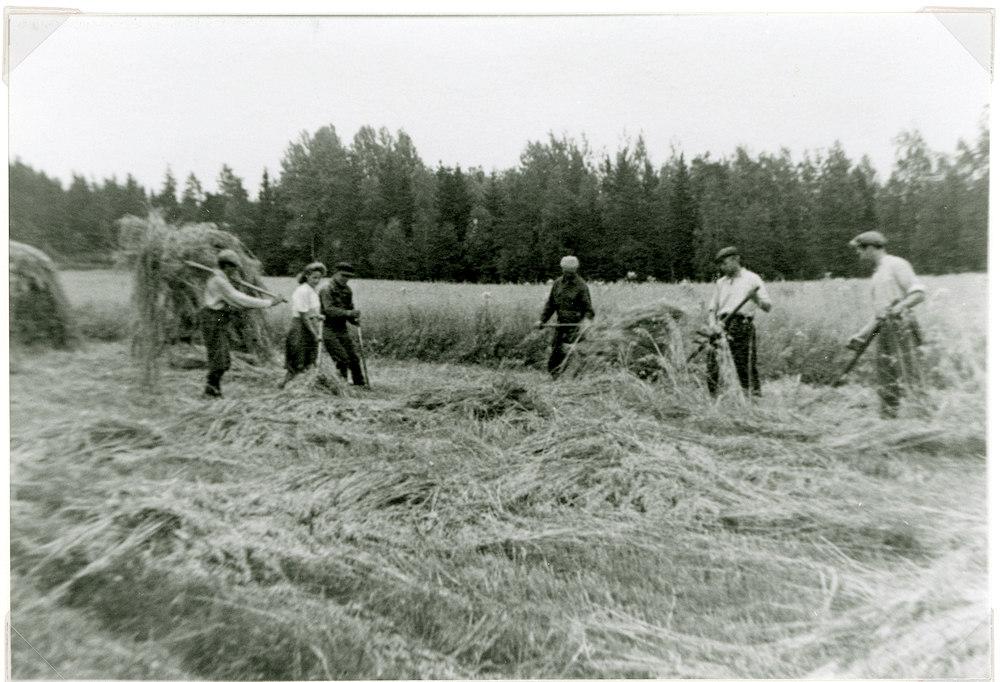 Kauran niittoa Hyrkkälän Kivisojanpellolla v. 1950