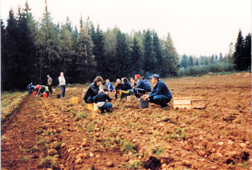 Perunatalkoot v. 1981 Kaunkorven pellolla