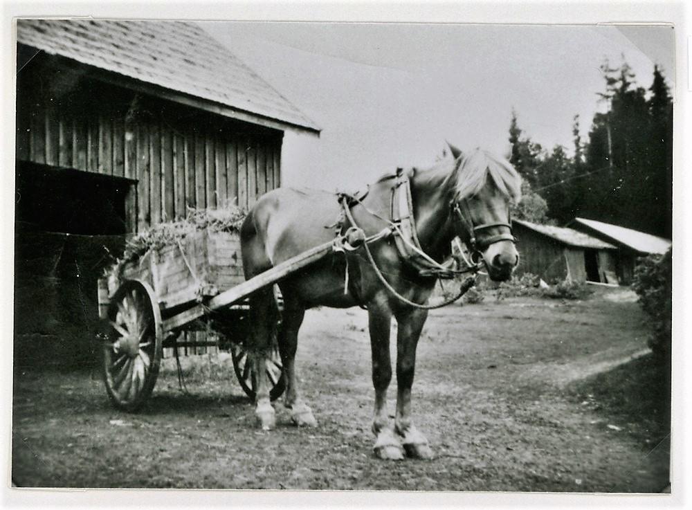 Tuloiselan hevonen Taru lähtee sotaan v. 1939