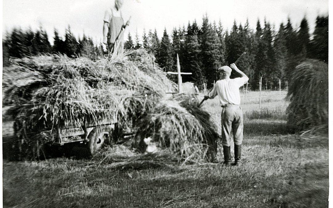 Kalevi Kankaanpää heinäkuormaa tekemässä Palomaassa v. 1948